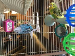 These aren't actually our parakeets.  Ours are all deceased.