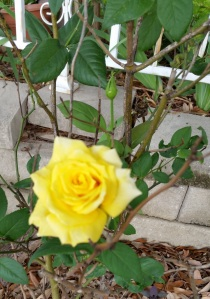 A Yellow Rose of Texas in our yard.