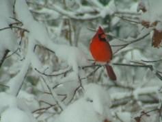 Cardinalis_cardinalis,_Northern_cardinal,_male,I_JAG308
