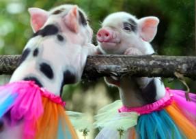 adorable-pig-in-a-tutu