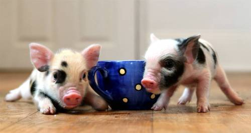 pink-baby-teacup-pigs-wallpaper-2