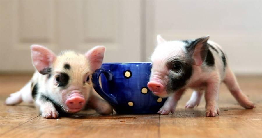 Pink Baby Teacup Pigs Wallpaper 2