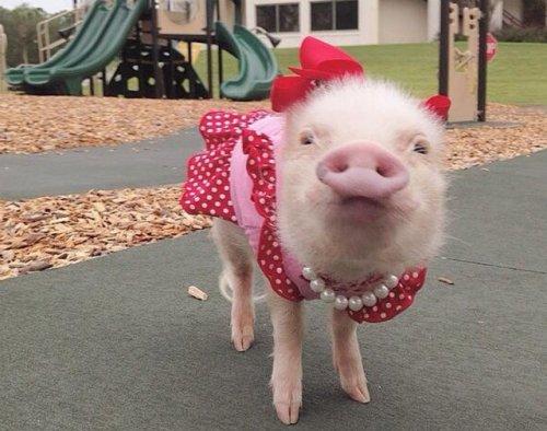 priscilla-mini-pig