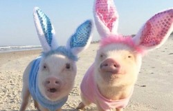 Prissy-Pig-pigs-in-bunny-costumes-945x610