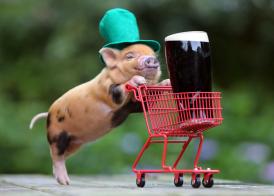 Teacup-Pigs-geart