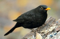 blackbird bird