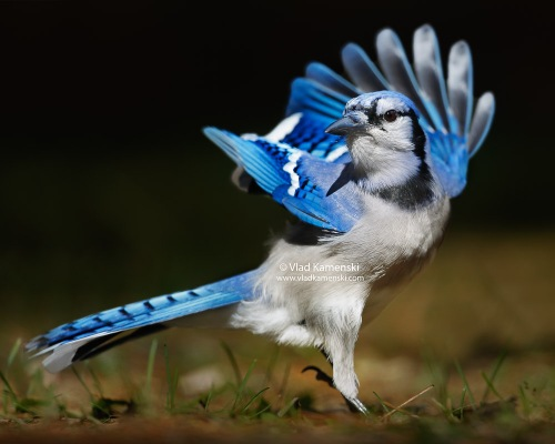 blue-jay-best-photo-animal-pet-dog-wildlife-photographer-vlad-kamenski-601