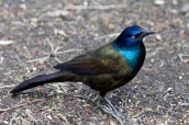 Common Grackle 3 CC_2