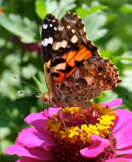 painted-lady-ventral