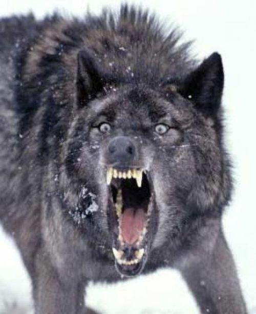 snarlingwolf_000