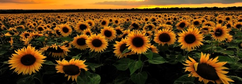 sunflower-category